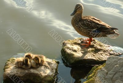 Protective Mother Duck