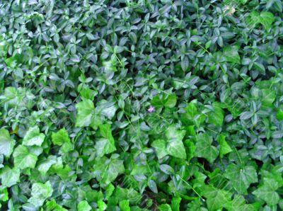 Overgrown Ivy