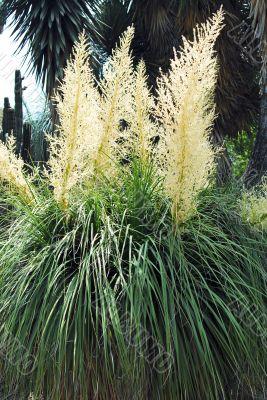 Nolina Bush Flowering