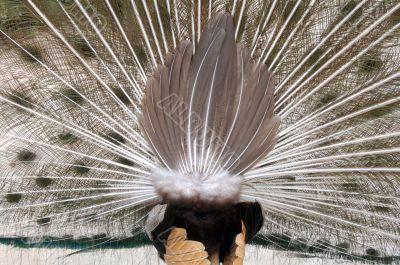 peacock`s butt