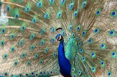 peacock dance attracting peahen