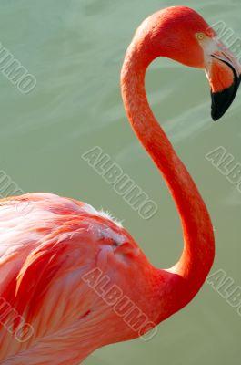 Flamingo Bird Closeup