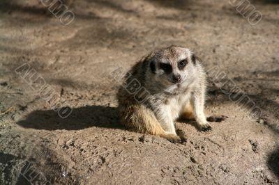 Relaxed gazing meerkat