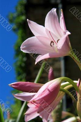 Day Lily Hemerocallis