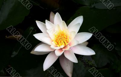 White water lily bloom on pond