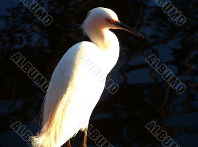 White Heron, Great Egret In Afternoon Light