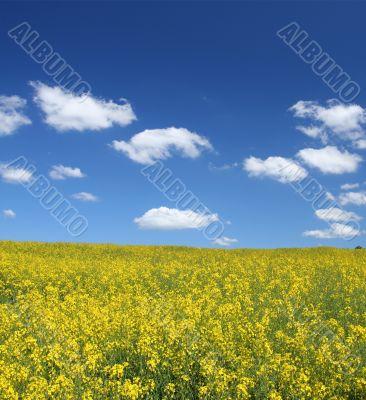 canola field with cumulus clouds