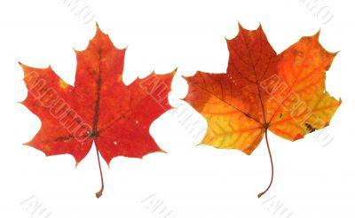 two vivid maple leaves