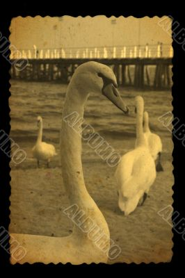 old photography of swans