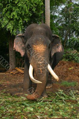 Impressive bull elephant