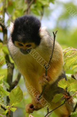 Squirrel monkey looking down