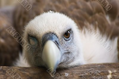 Funny looking vulture