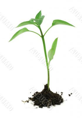 newborn plant with soil on white #2