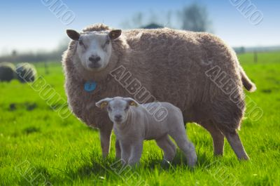 sheep and her cute little lamb