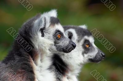 two cute ring-tailed lemurs