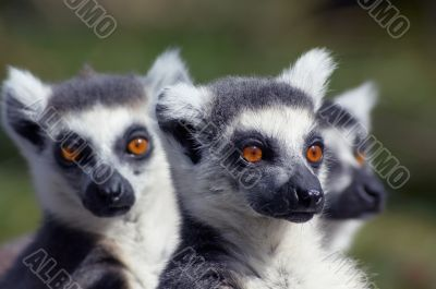 A group of cute looking ring-tailed lemurs