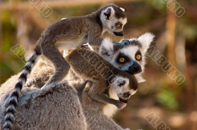 A goup of cute ring-tailed lemurs