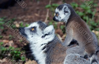 baby ring-tailed lemur on mothers back
