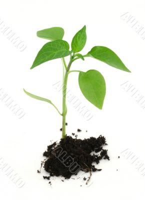 newborn plant with soil on white