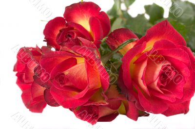 Red Rose (Pride of Kenya)