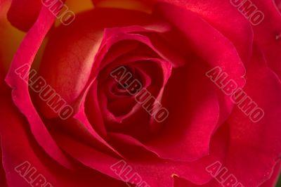 Rose (Pride of Kenya)