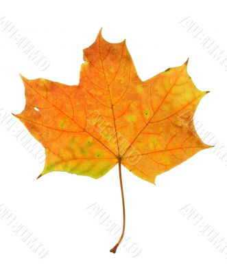 maple leaf on pure white background