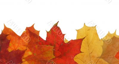 maple leaves in line