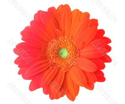 multicolored gerbera flower