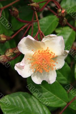Rosa Madame alfred carriere