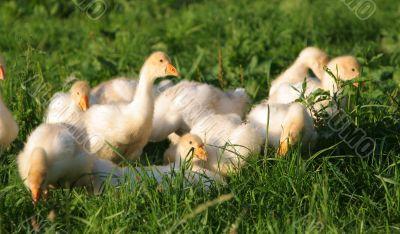 goslings among grass