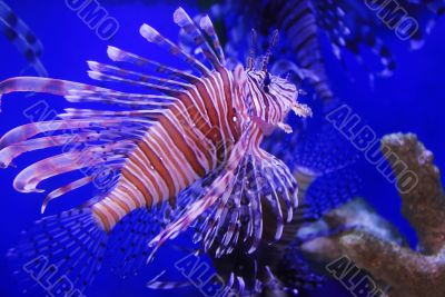 Moving lion fish