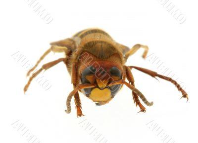 hornet - extreme macro
