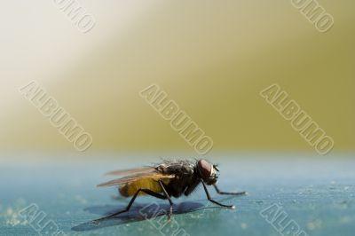Nasty housefly