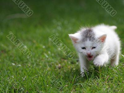 Little kitten screaming for attention