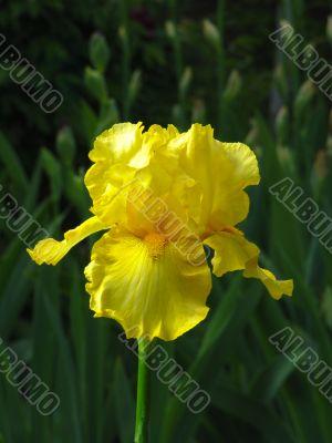 Iris №4