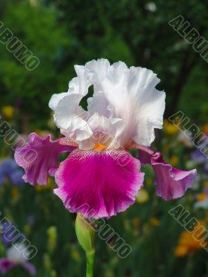 Iris №12