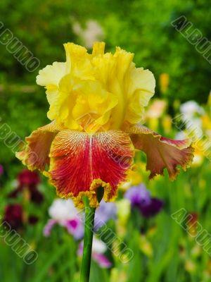 Iris №18