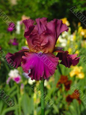 Iris №34