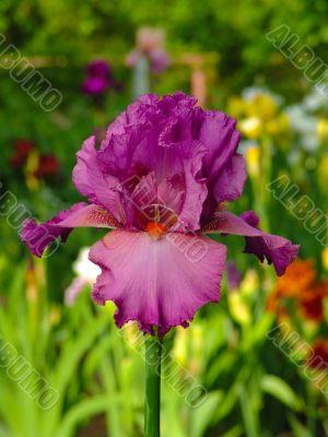 Iris 38