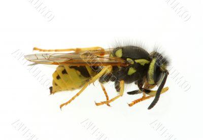 wasp - extreme macro