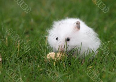 Hamster found a peanut