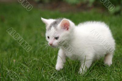 Little kitten carefully taking first steps