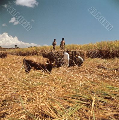 Harvesting People with Cow
