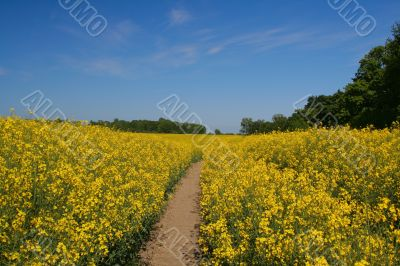 Canola field and clear sky