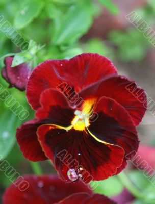 dew drop on pansy`s petal