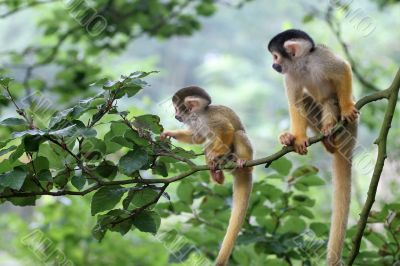 Two baby squirrelmonkey out on adventure
