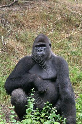 Impressive gorilla