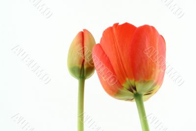 development of a tulip