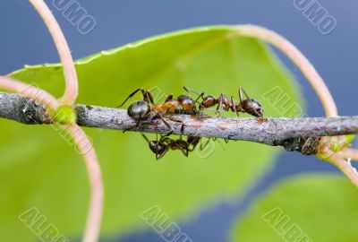 Ants on a branch in summer