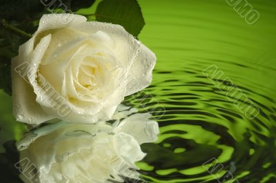 Wet rose 1